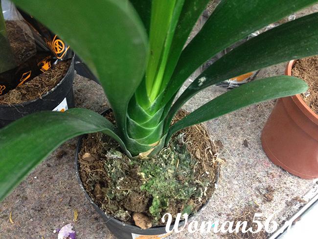 Выращивание кливии в домашних условиях 246