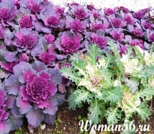 капуста декоративная выращивание