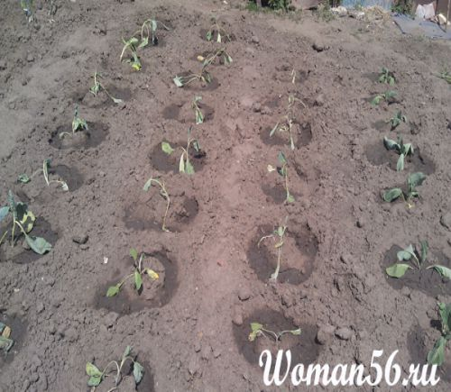 Сажают капусту в лунки с