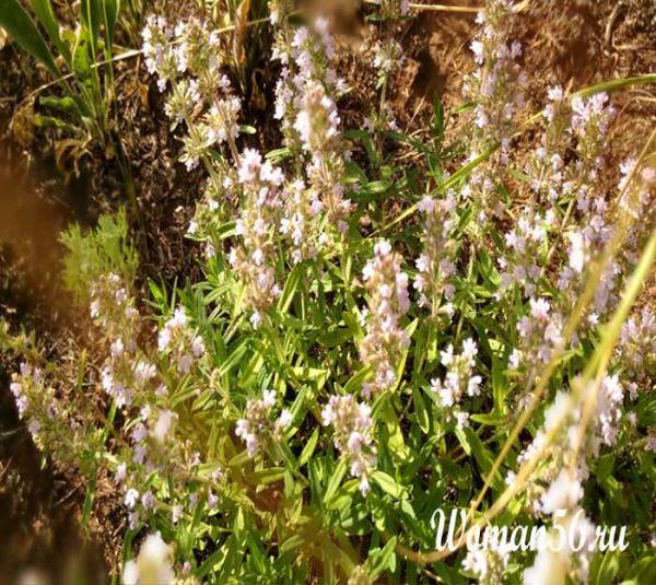 Трава тимьян фото
