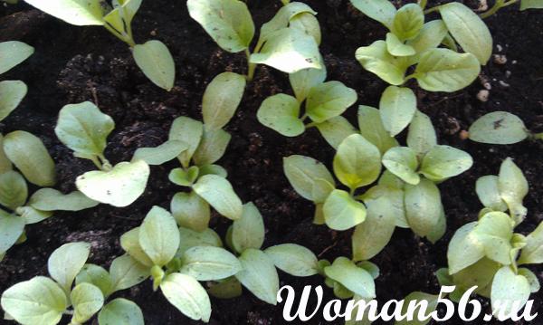 Баклажаны-выращивание рассады