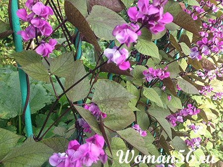 Цветки долихоса