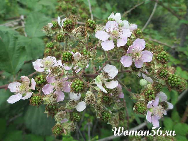 ежевика цветет
