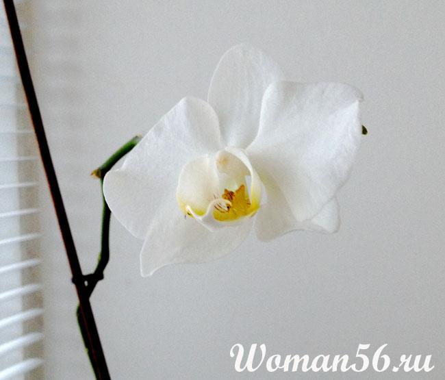 Орхидея Фаленопсис - уход в домашних условиях