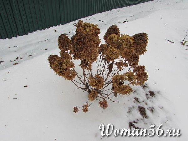 гортензия метельчатая зимой