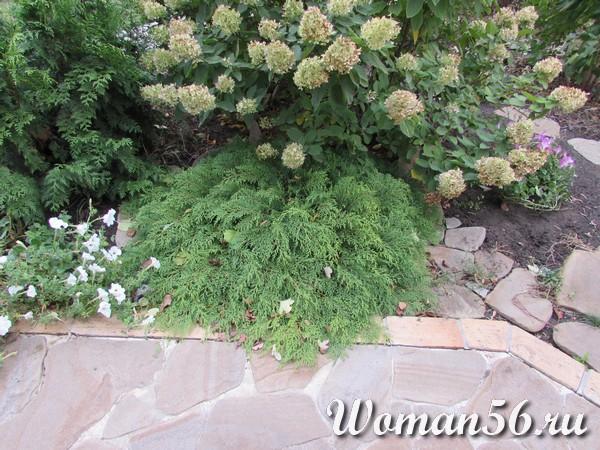 Гортензия метельчатая цветник