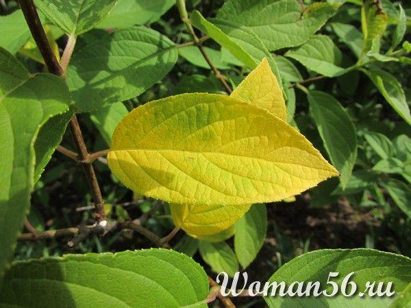 хлороз листьев гортензии метельчатой