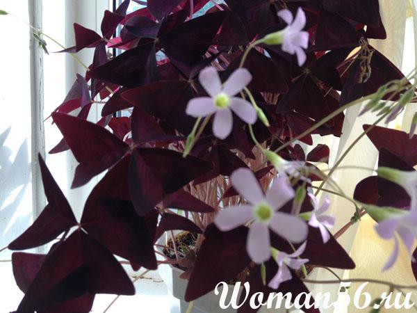 Цветок кислица
