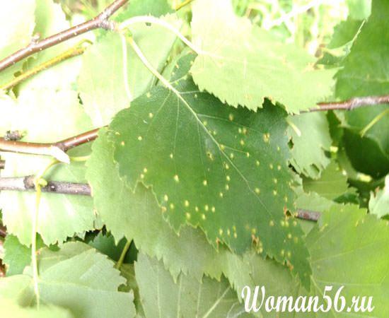 поврежденные листья березы