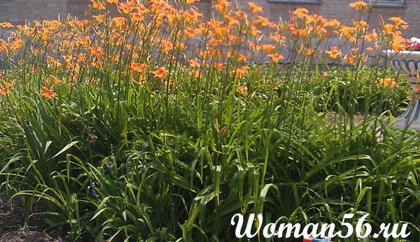лилейники посадка и уход, цветок лилейник