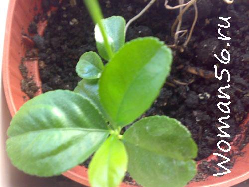 Лимон из косточки  или как вырастить лимон в домашних условиях