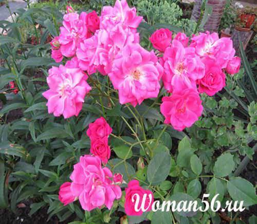 Вьющиеся розы цветущие