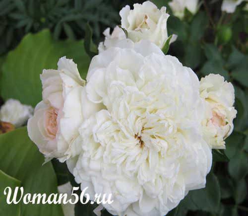 Кустарниковые розы уход
