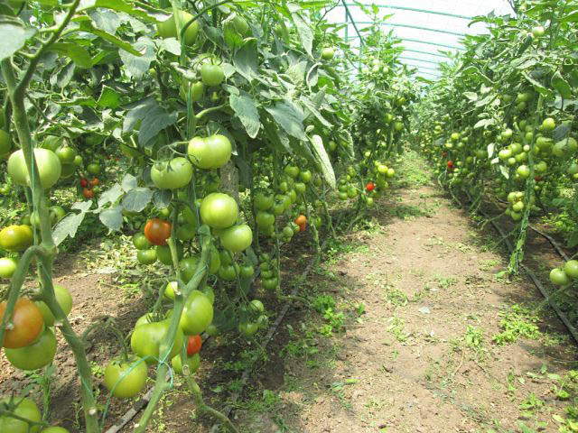 Повышаем урожай помидор