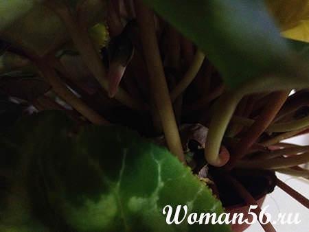 Цикламен размножение клубнями