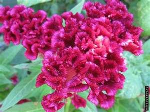 Цветок целозия гребенчатая -посадка и уход 25