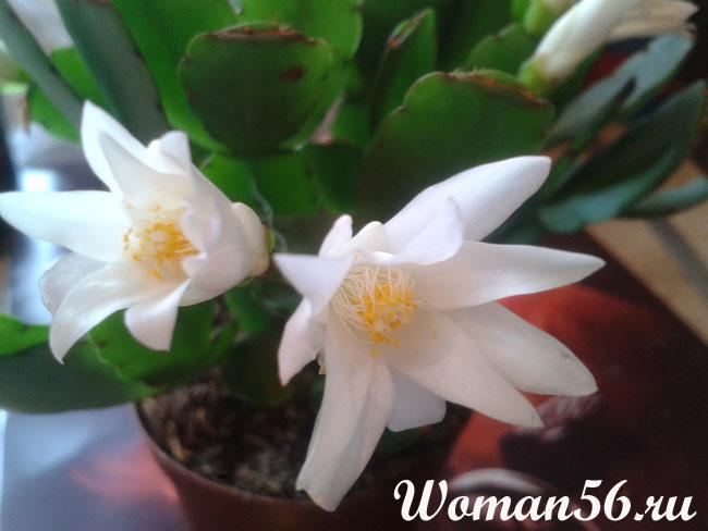 Цветок Декабрист. Уход