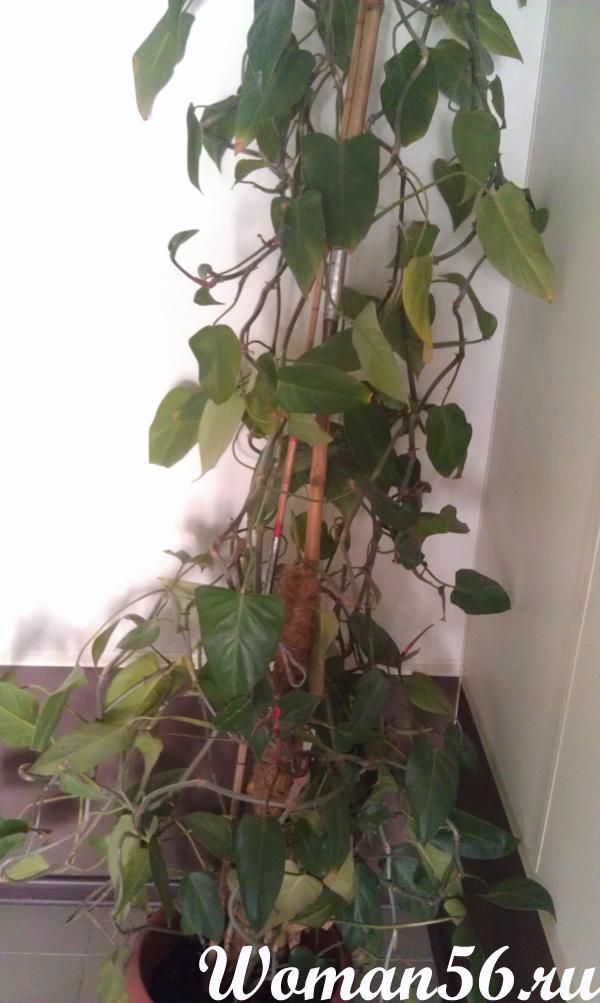 Цветок Сингониум. Уход в домашних условиях