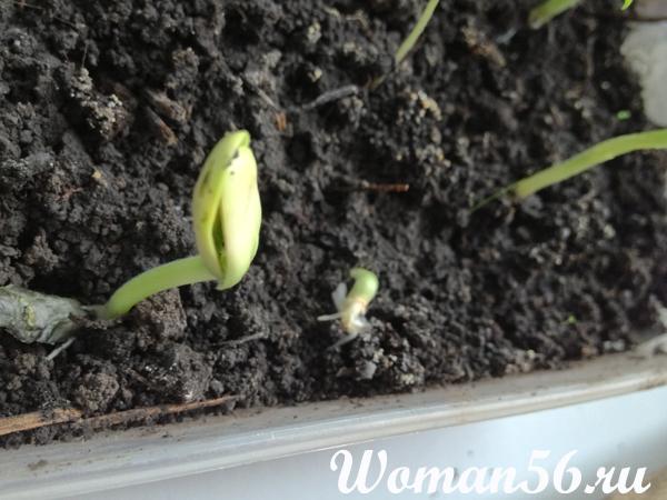 Выращивание тыквы, Рассада тыквы