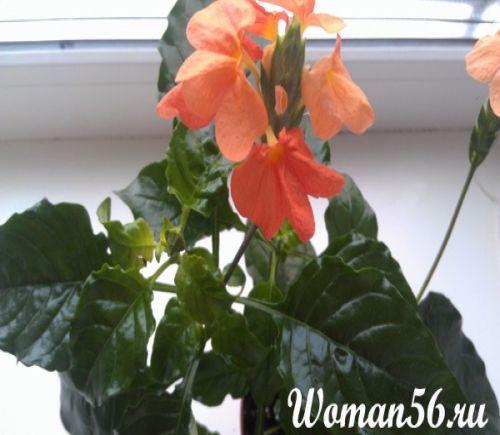 Цветок кроссандра уход в домашних условиях фото